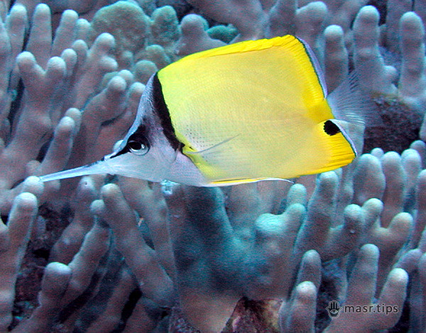 риб-метеликів