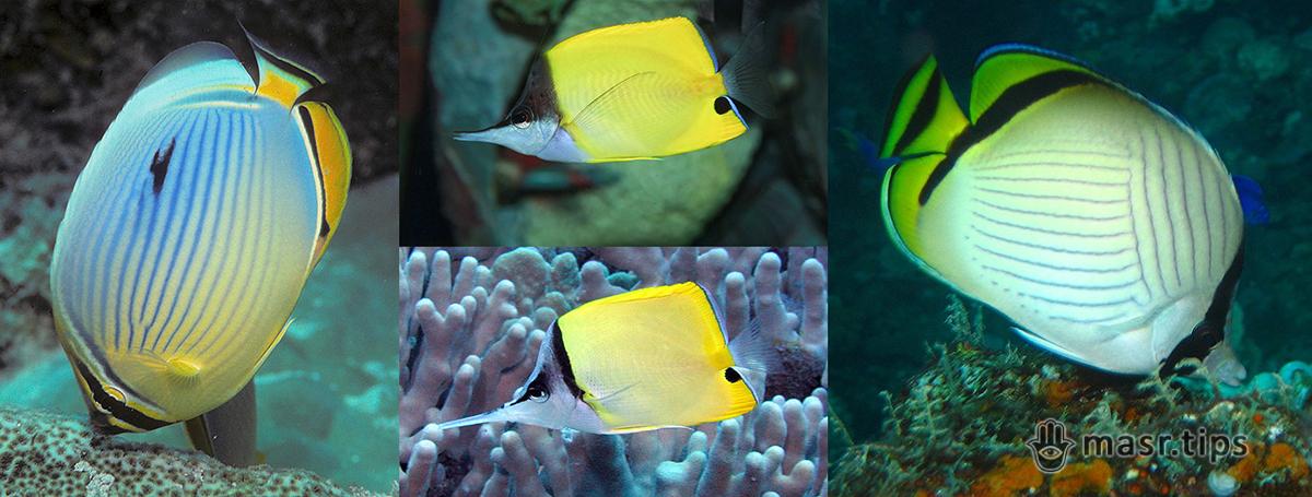 Риб-метеликів багато не буває – ще чотири види